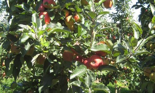 Apfelanbau in Pfedelbach